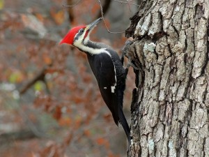 Josh Laymon's photo of an adult pileated.